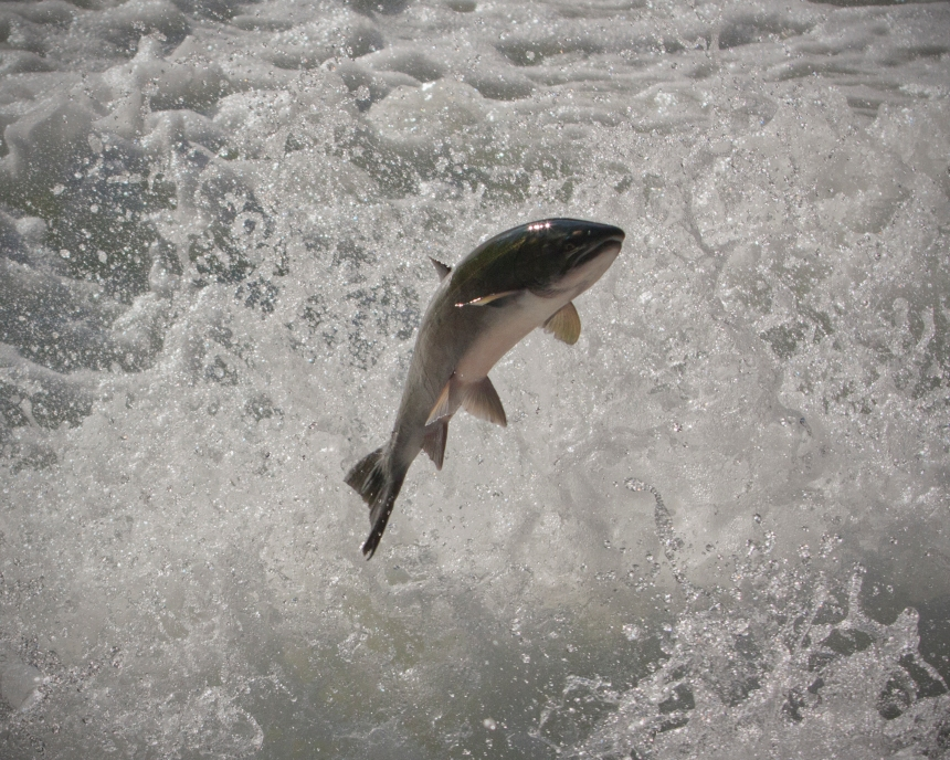 SalmonBears_West CoastBC_ODonovan_201208_004