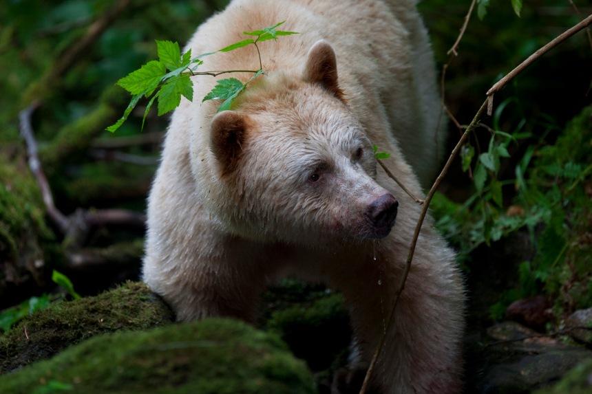 SalmonBears_West CoastBC_ODonovan_201208_049