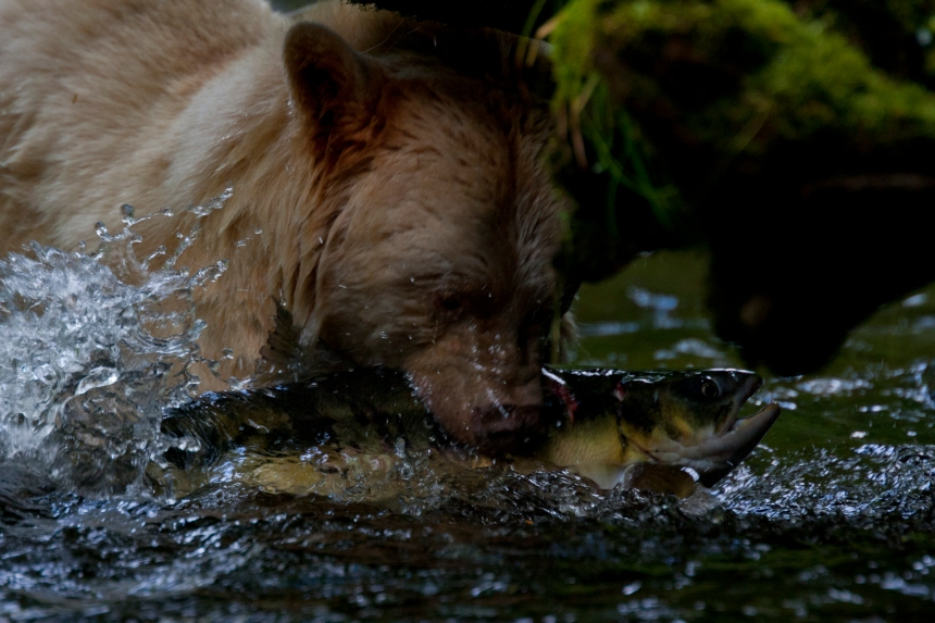 SalmonBears_West CoastBC_ODonovan_201208_067